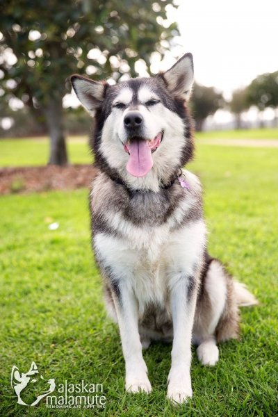 Malamutes for Adoption